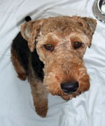 Welsh Terrier - Morgan